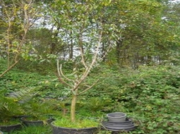 Japon Eriği   /Prunus salicina
