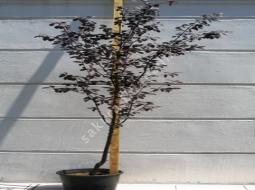 Süs Eriği  /Prunus cerasifera pissardi