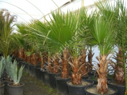 Palmiye  /Washingtonia Robusta