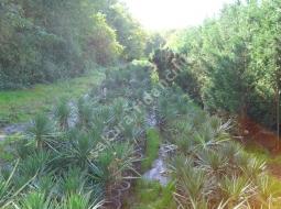 Bahçe Yukası  /Yucca Gloriosa