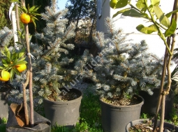Aşılı Mavi Ladin  /Picea Pungens Hopsii