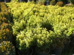 Çıtır Taflan/Euonymus Microphyllus
