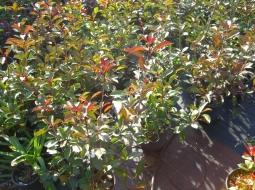 Alev Çalısı/Photinia Fraseri Red