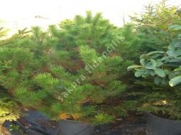 Karaçam/Pinus Nigra