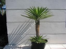 Bahçe Yukası/Yucca Gloriosa