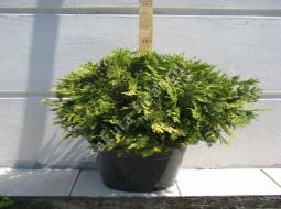 Sunkiss/Thuja occidentalis sunkiss