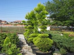 Şekilli Limon Servi/Cupressus macrocarpa