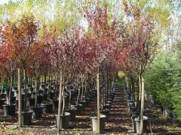 Tijli Süs Eriği/Prunus ceracifera 'Pissardi Nigra'