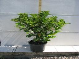 Yağlı Kartopu/Vibirnum Licidium