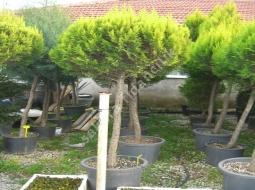 Top Limon Servi/Cupressus macrocarpa 'Goldcrest'