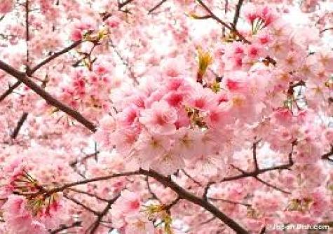 Sakura (Süs Kirazı)