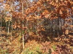 Meşe/Quercus rubra