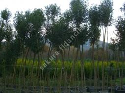 Tijli Lügüstrüm/Ligustrum japonicum tige