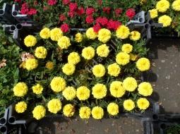 Kadife Çiçeği/Tagetes