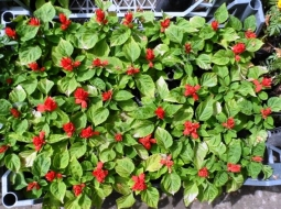 Ateş Çiçeği/Salvia