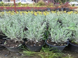 Lavanta/Lavandula angustifolia