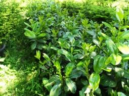 Karayemiş/Prunus laurocerasus