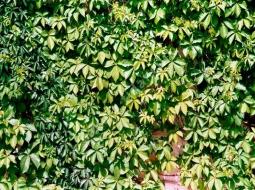 Amerikan Sarmaşığı/Ampelopsis