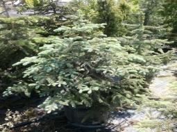 Mavi Ladin/Picea Pungens