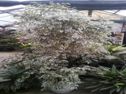 Benjamin/Ficus benjamina variegata