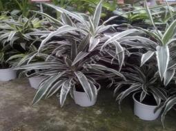 Dresena alacalı/Drecena deremensis