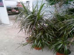 Dresena/Dracaena marginata tricolor