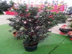 Fikus/Ficus