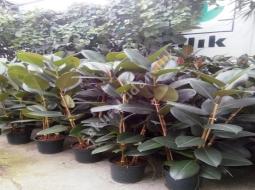 Kauçuk/Ficus Elastica