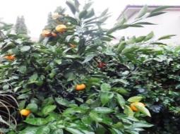 Mandalina Ağacı/Citrus reticulata