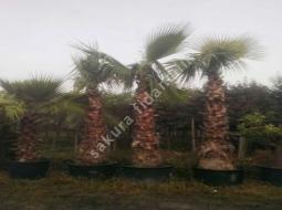 Palmiye/Washingtonia Filifera