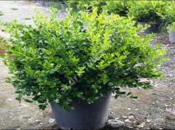 Şimşir Rotindofolio/Buxus Rotundifolia