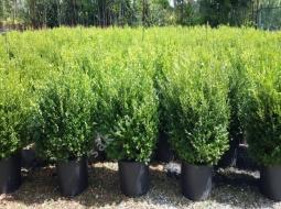 Şimşir Rotundifolio 70-80cm/Buxus Rotundifolio