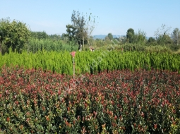 Bodur Alev/Photinia Fraseri Little Red Nana