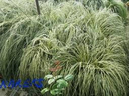 Kareks/Carex