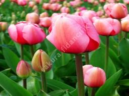 Lale/Tulip