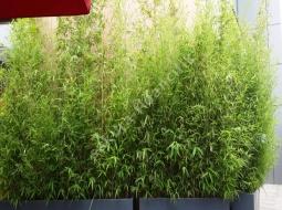 Bambu/Bambusa bissetii