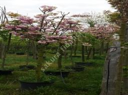 Süs Kirazı/Prunus serrulata Kanzan