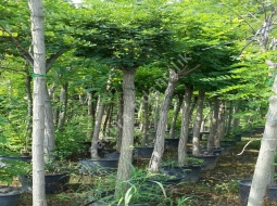 Top Akasya/Robinia pseudoacacia
