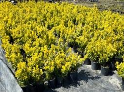 Altuni Taflan/Euonymus japonica 'Elegantissimus Aureus'