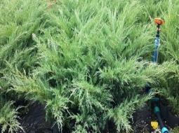 Sabin Ardıç/Juniperus Sabina
