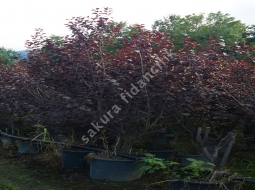 Süs Eriği çalı formlu/Prunus ceracifera 'Pissardi Nigra'