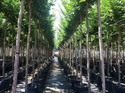 Tijli Oya Ağacı/Ağacı  Lagerstroemia indica