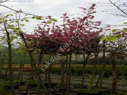 Süs elması/Malus floribunda