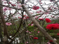 Süs Şeftalisi/Prunus persica