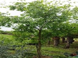 Hünnap Ağacı/Ziziphus zizyphus