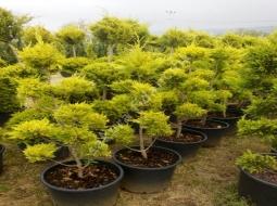 Limon servi Pon Pon/Cupressus Macrocarpa Goldcrest pompons