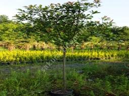 Tijli Alev Ağacı /Photinia serrulata