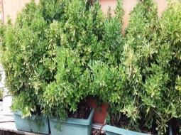 Hazır çit Taflan/Euonymus Japonica Var Aurea