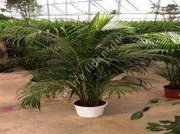 Kentya/Kentia Forsteriana