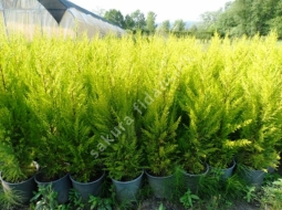 Limon Servi/Cupressus Macrocarpa
